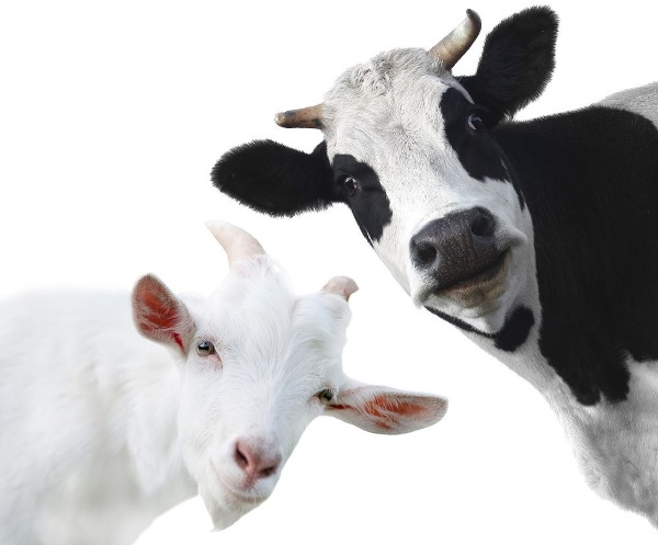 Козье и коровье молоко детям можно ли включать его в рацион до года